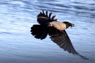 Nebelkrähe (Corvus corone cornix) mit Fischbeute aus dem Wasser - Doku -