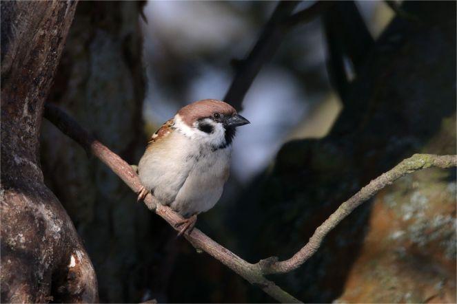 Feldsperling (Passer montanus ) am Apfelbaum
