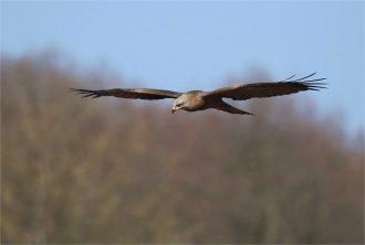 Suchflug Schwarzer Milan -(Milvus migrans)