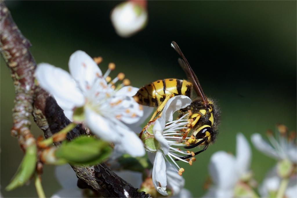 Wespe im Blütenrausch