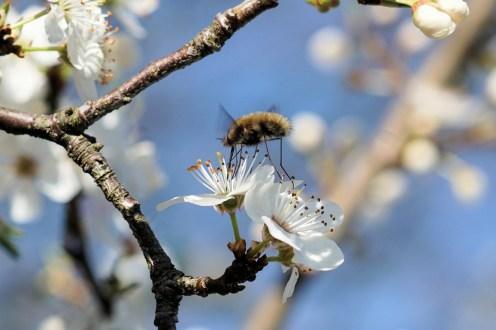 Wollsschweber auf Blüte