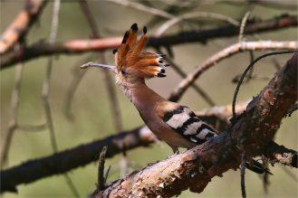 Wiedehopf (Upupa epops