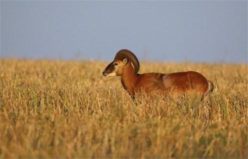 Halbstarker - Mufflon (Ovis gmelini-Gruppe)