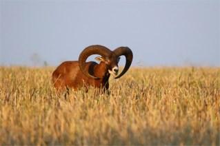 Anderer Widder - Mufflon (Ovis gmelini-Gruppe)