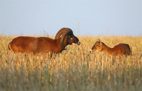 Widder und Schaf - Mufflon (Ovis gmelini-Gruppe)