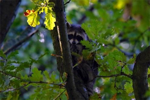 Besondere Sichtung, wildlife, Waschbär auf einem Baum