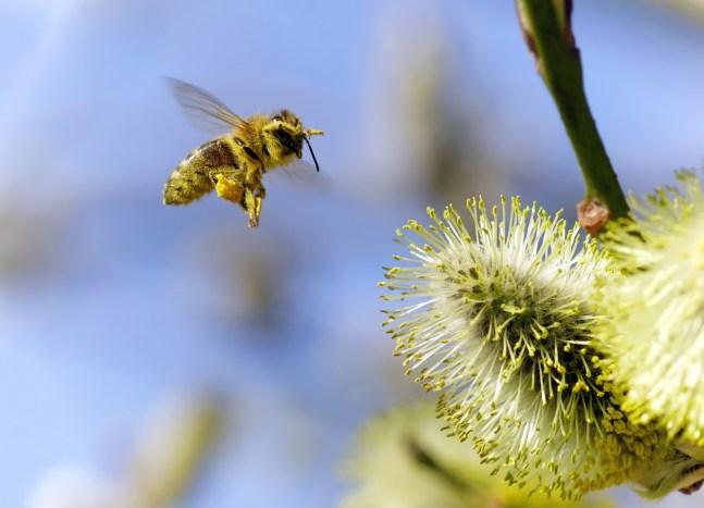 Völlig eingestaubte Biene im Landeanflug
