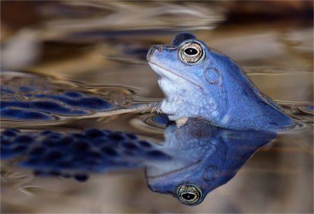 Moorfrosch auf Laich, Männchen