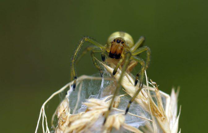 Ammen - Dornfinger, Weibchen, giftig! (Cheiracanthium punctorium)
