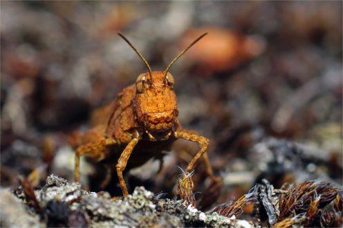 seltene Rotflügelige Ödlandschrecke