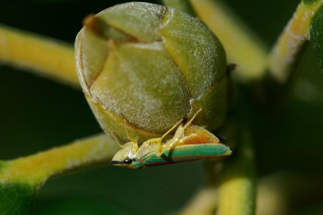 Selten! Eiablage Rhododendronzikade (Graphocephala fennahi, Syn.: Graphocephala coccinea)