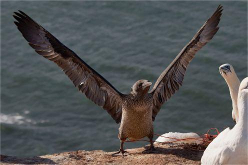 Flugübung, JungerBasstölpel (Morus bassanus), leider mit Netz an den Beinen