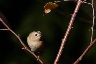 Wintergoldhähnchen ( Regulus regulus)