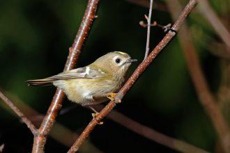 Kleinster Vogel Europas, Wintergoldhähnchen ( Regulus regulus)