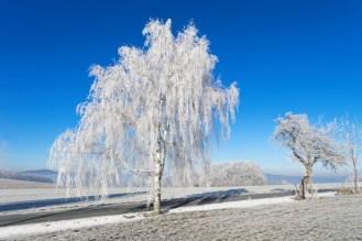 Frostige Birke