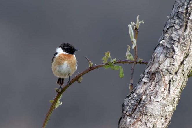 Dornenvogel? Schwarzkehlchen, Saxicola rubicola