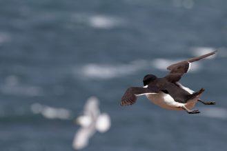 Fliegender Tordalk - (Alca torda)