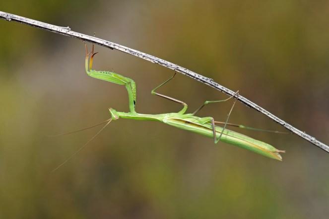 Europäische Gottesanbeterin, Mantis religiosa