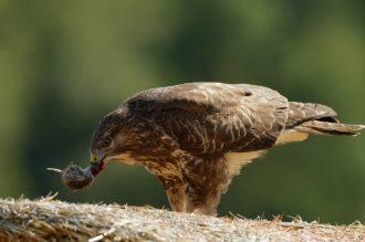 Mäusebussard ( Buteo buteo) beim Fressen