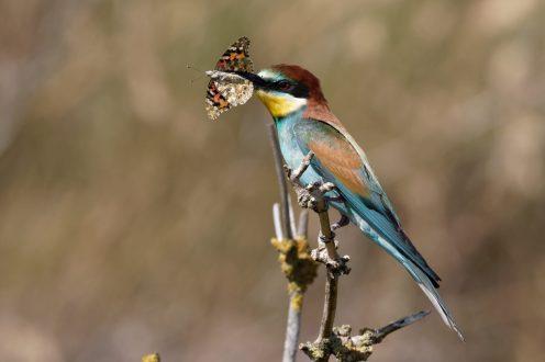 Bienenfresser (Merops apiaster