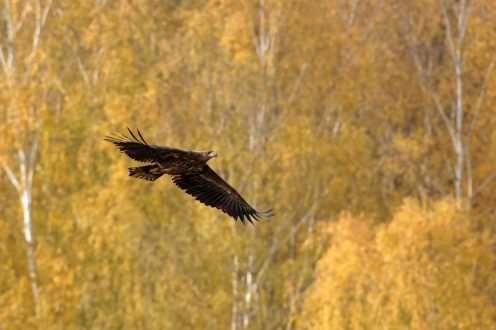 König der Lüfte - Seeadler(Haliaeetus albicilla) am Stausee