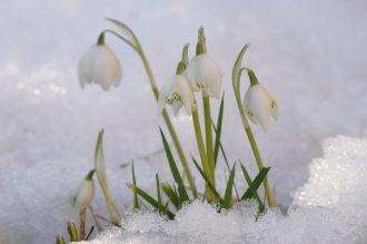 Schneeglöckchen vor dem haus