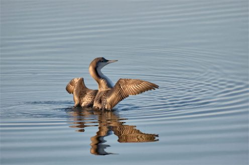 Prachttaucher (Gavia arctica)
