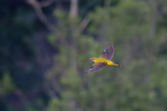 Fliegender Pirol