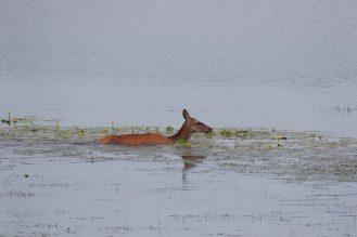 Hirschkuh im tiefen Wasser