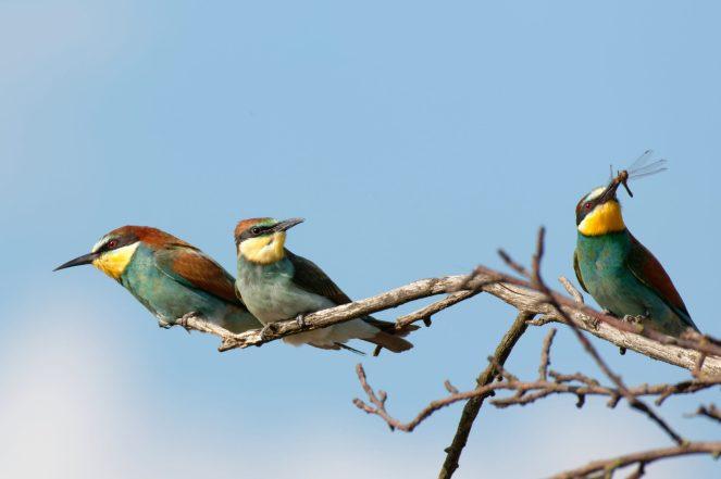Jungvögel warten auf Futter, Bienenfresser (Merops apiaster)