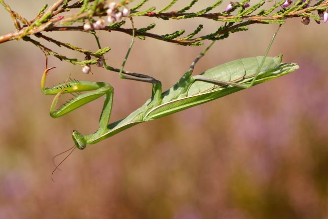 Weibliche Gottesanbeterin, Mantis relgiosa
