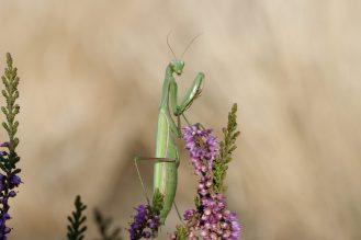 Weibliche Gottesanbeterin, Mantis religiosa