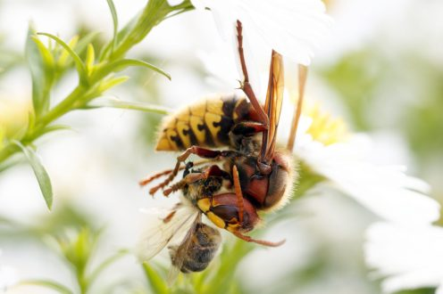Hornisse, Vespa crabro mit Biene als Beute