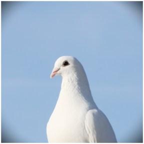 Taubenflug