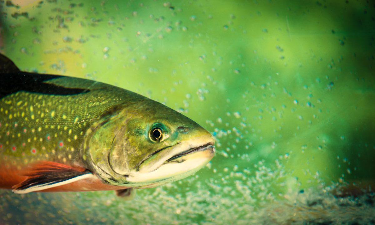 Die Forelle – heimischer Räuber und Kannibale