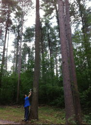 Wayne collecting pine pitch from tall tree (Photo Credit: Tim Frandy)