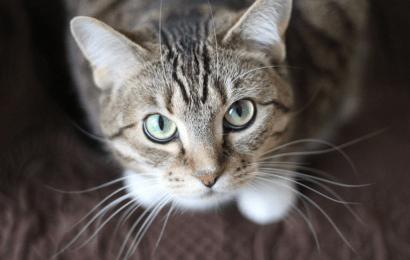 Wat zijn de voordelen van een kat als huisdier?