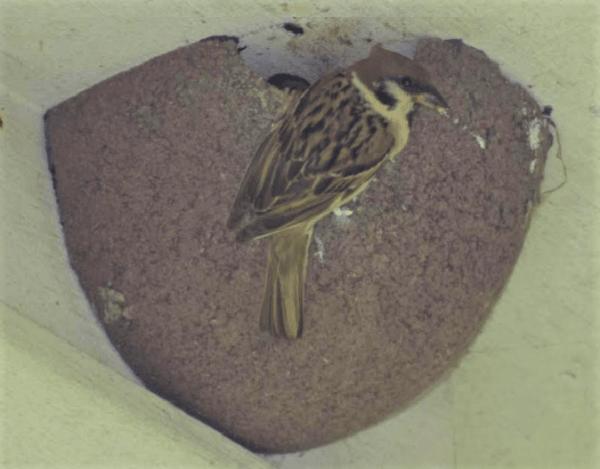 Ringmus in nestkom 2