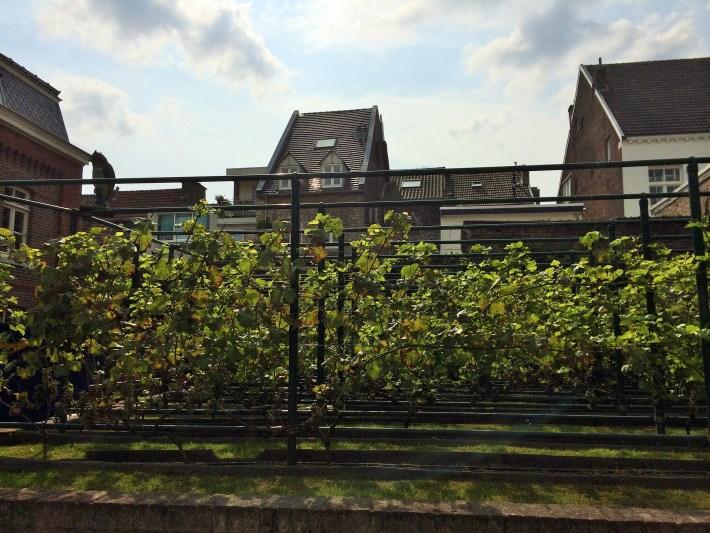 Wijnproeverij Maastricht bij Thiessen: wijnstokken
