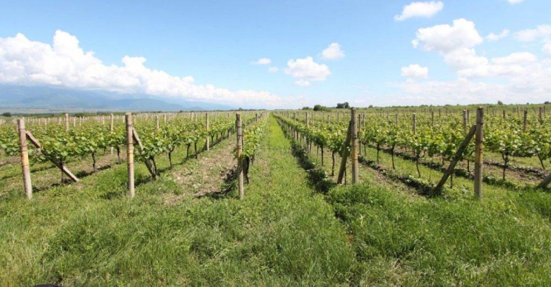 Dakishvili wijngaard