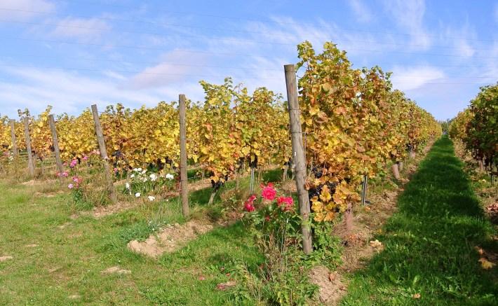 Belgische wijn: domaine du chenoy