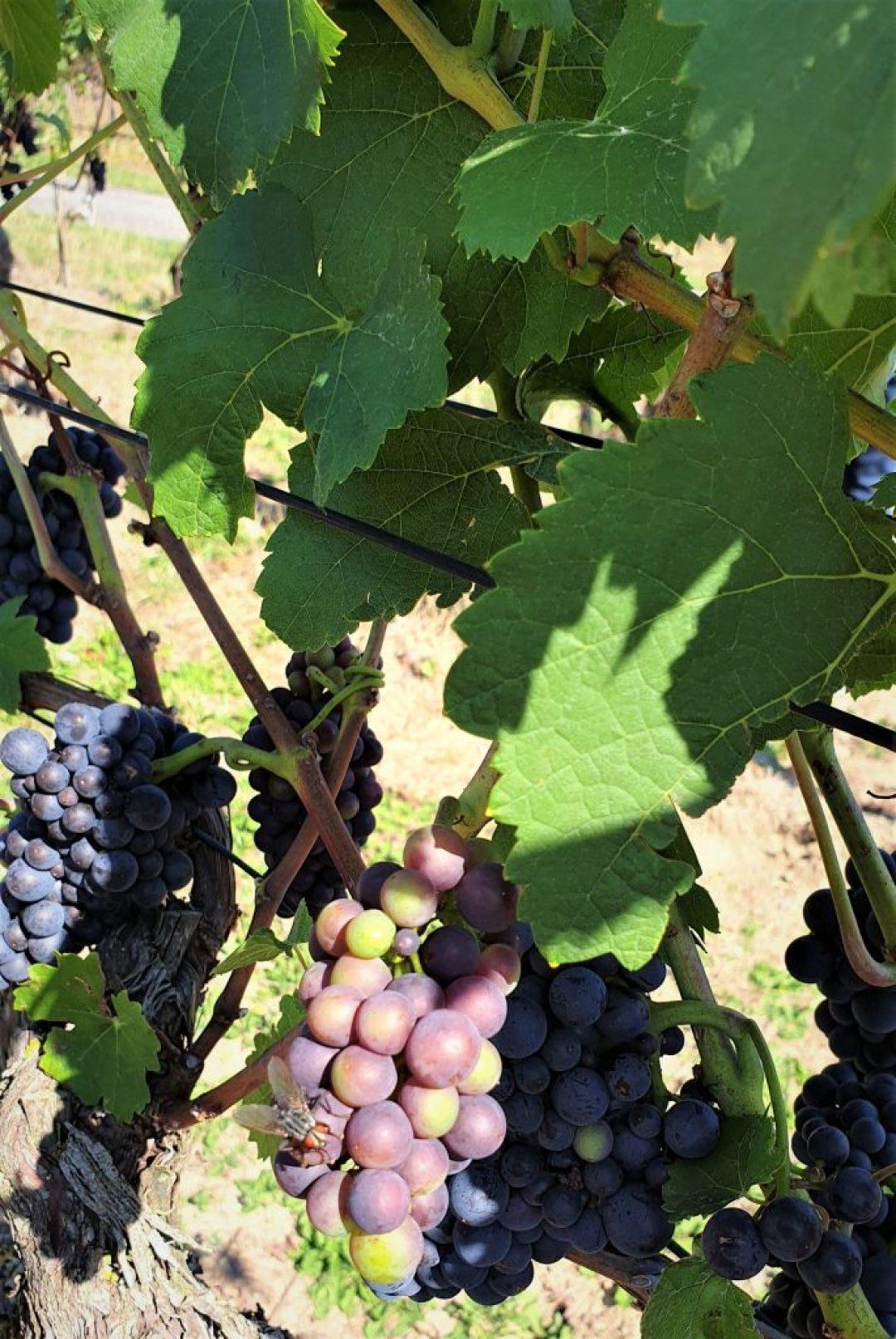 Pinot Noir wijn Spatburgunder druiven