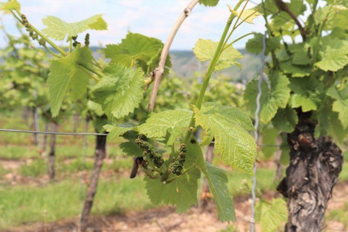 Wijnreis Moezel en Duitse wijn: kleine druiven