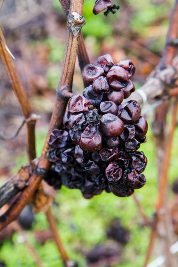 Een tros Pinot Meunier, die de oogst niet heeft gehaald (eind december)