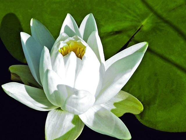 Datei:Lotus2 2006.jpg