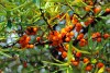 فوائد النبق ثمار شجرة السدر