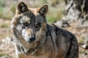 الذئب الرمادي