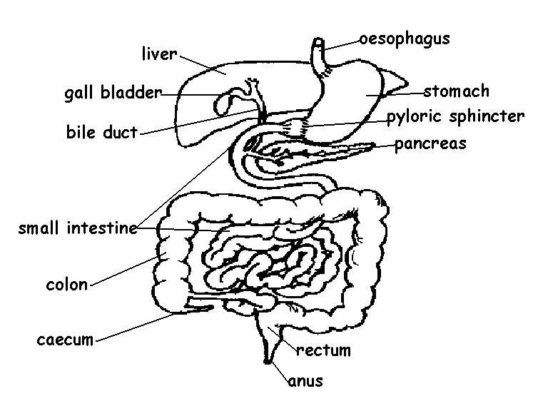 Digestive System Gizmo Answer Key Pdf / Enzymes Stem Case ...