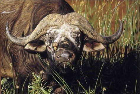cape-buffalo-bull