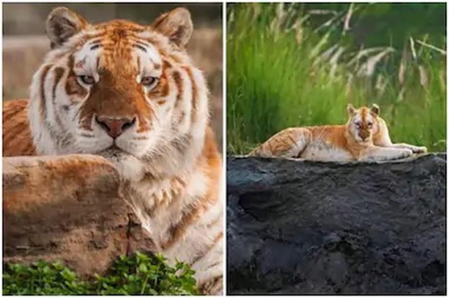 India's golden tiger